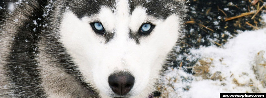 Beautiful Husky Facebook Cover