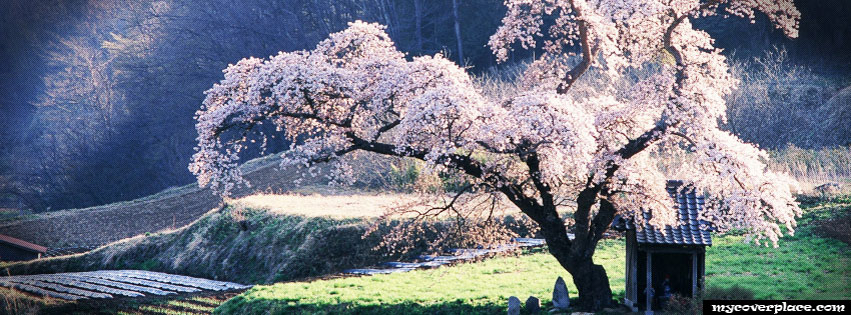 Cherry Blossom Tree Facebook Cover