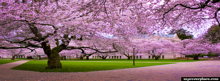 Japanese Cherry Facebook Cover