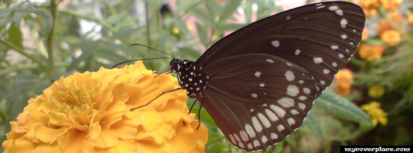 Black butterfly on yellow flower Facebook Cover