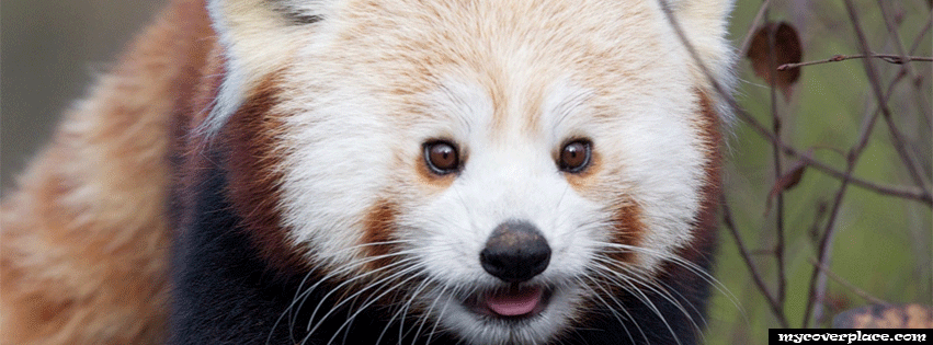 Red Panda Facebook Cover
