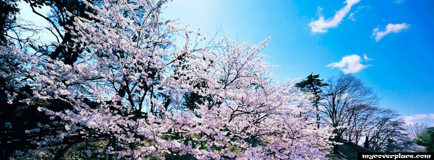 Cherry blossom trees Facebook Cover