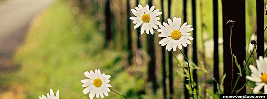 Flowers chamomile fance Facebook Cover