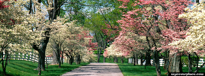 Beautiful spring blossom trees Facebook Cover