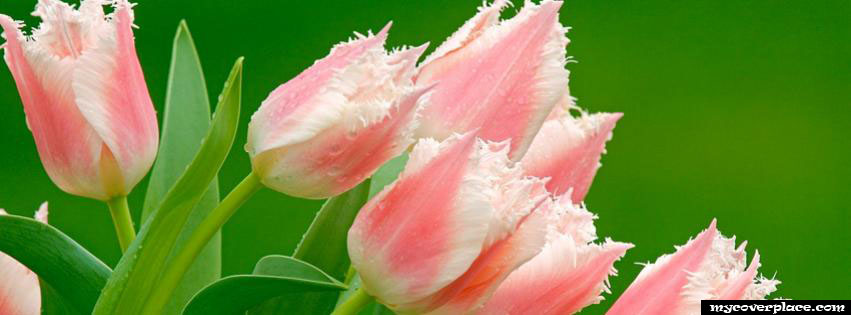 Tulips Facebook Cover