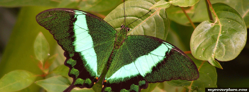 Green butterfly Facebook Cover